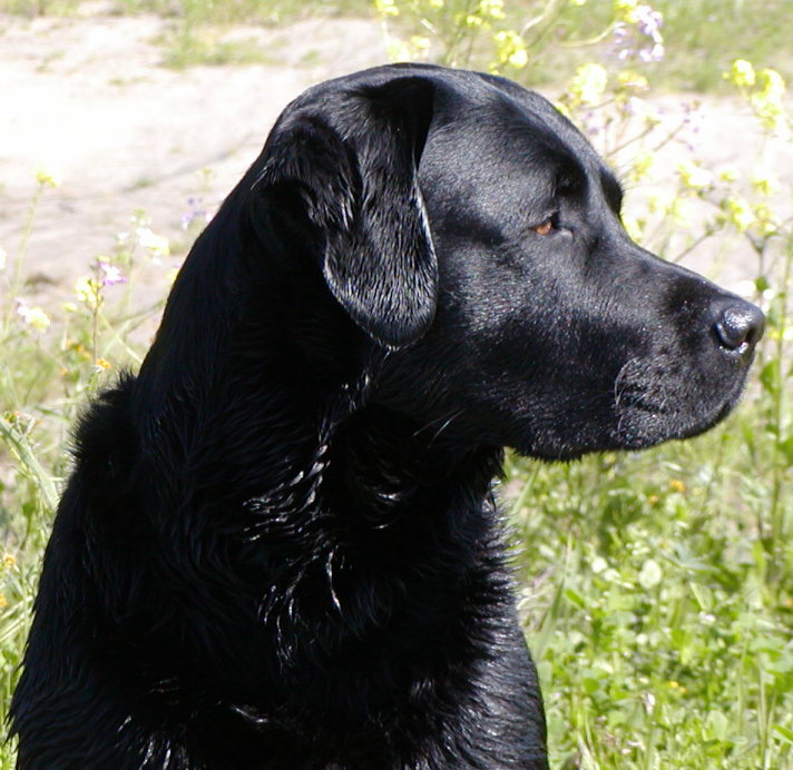 Tide our Black Labrador Retriever and Pedigree for Bayside's Delta ...