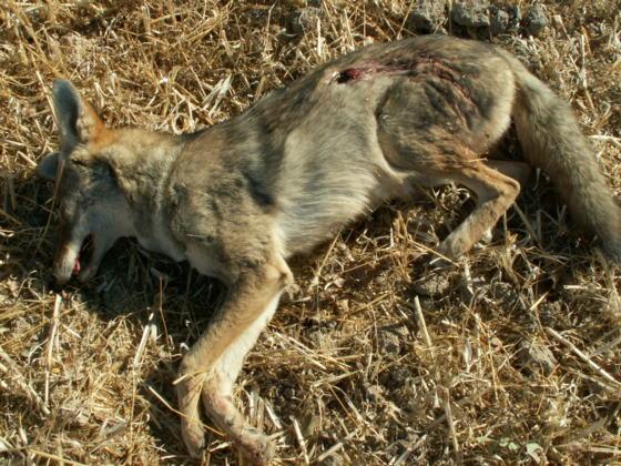 coyote chasing rabbit