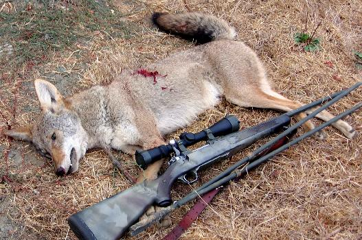 A year ago I did not know how to call a coyote, and thanks to your info. I just killed my 43rd coyote. Thanks for all your help my deer and